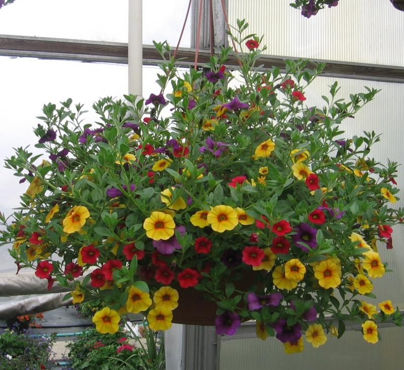 "Our 12"" Hanging Basket"